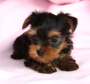 Lovely and cute yorkie puppies