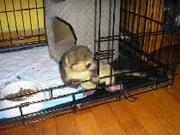 3 months old female baby kinkajou born here at our home for sale