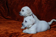CUTE AND HEALTHY LABRADOR RETRIEVER PUPS