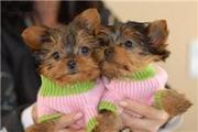 Teacup Yorkshire Terrier For adoption