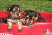 twin Yorkie puppies for adoption
